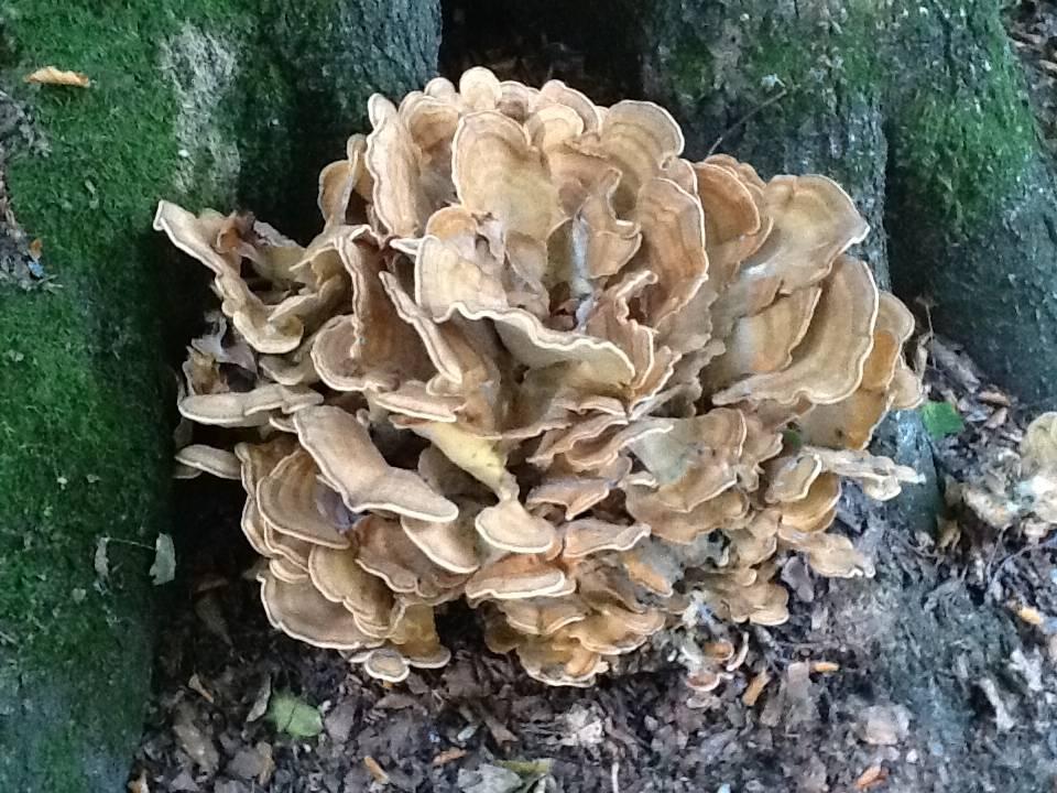 Champignon forestier