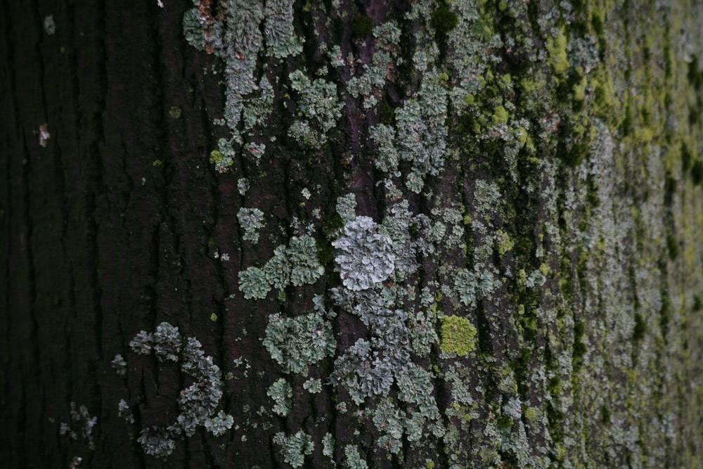 Coopération dans le Vivant tronc d'abre et lichen